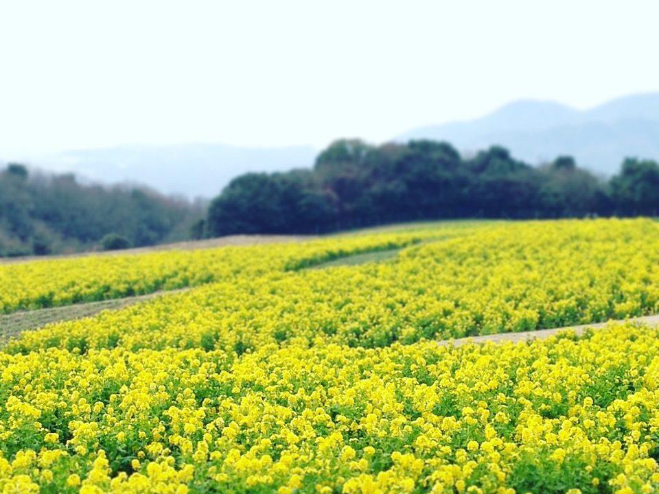淡路花さじきの菜の花