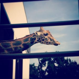 姫路市立動物園のキリン