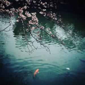 姫路市立動物園の桜