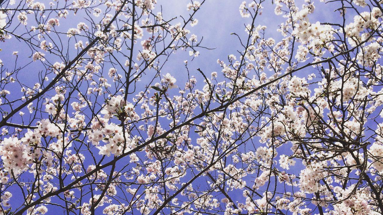 yuzuruha-sakura