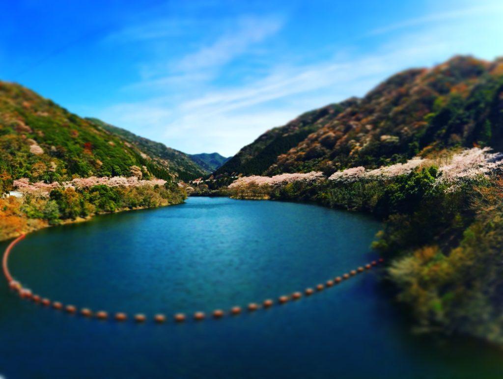 諭鶴羽ダムと桜