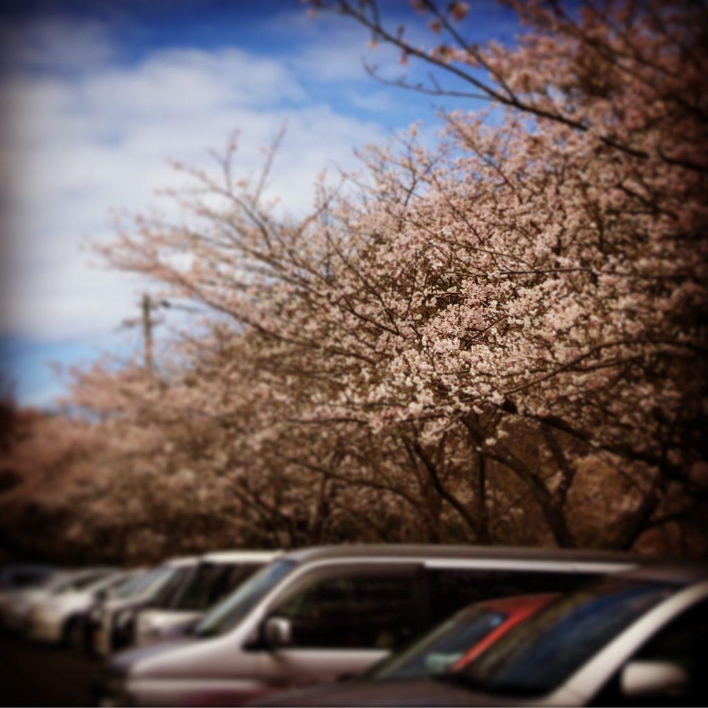 諭鶴羽ダムの桜と駐車場