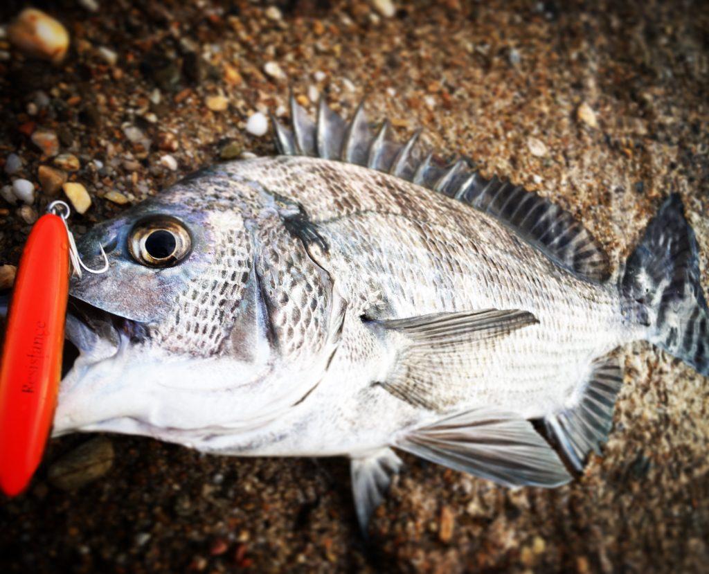 クロナッツ67で釣ったチヌ(クロダイ)