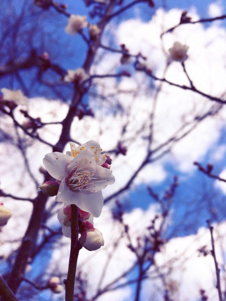 灘黒岩水仙郷の梅