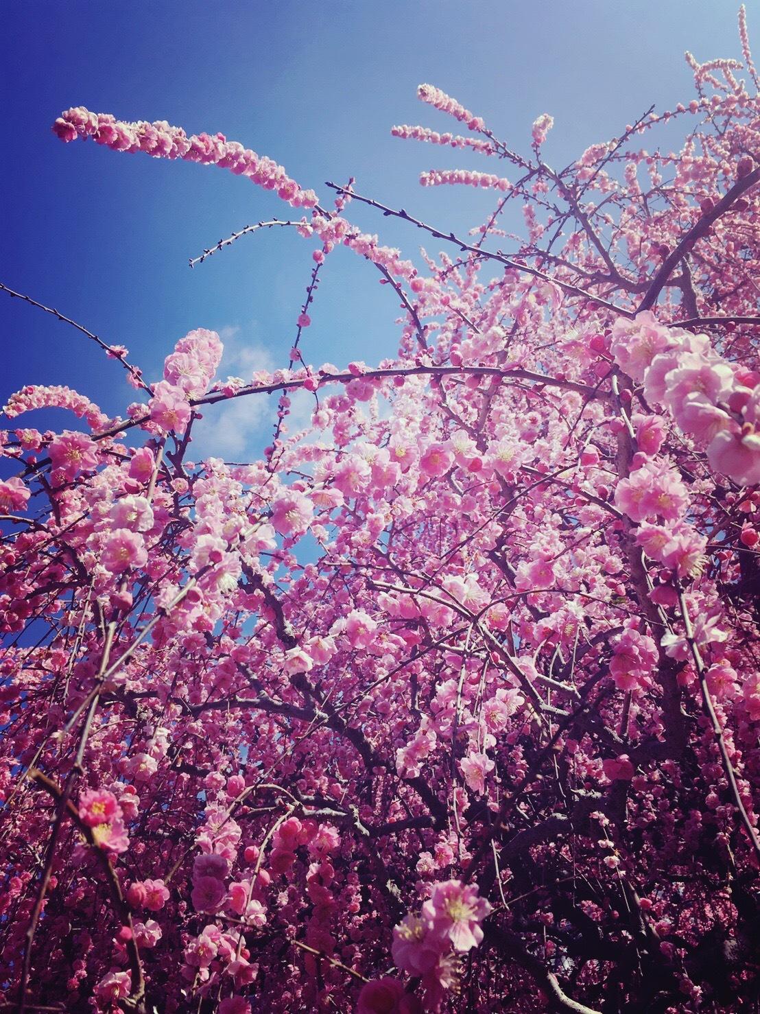 八木のしだれ梅
