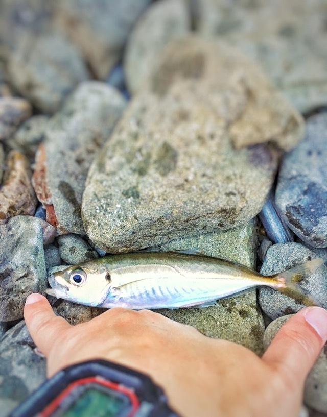 ゴロタ浜でフロートで釣ったアジ