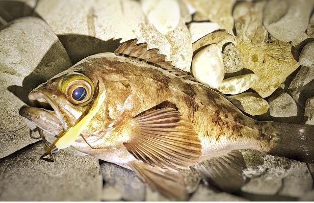 フロートリグで釣ったメバル27.5cm