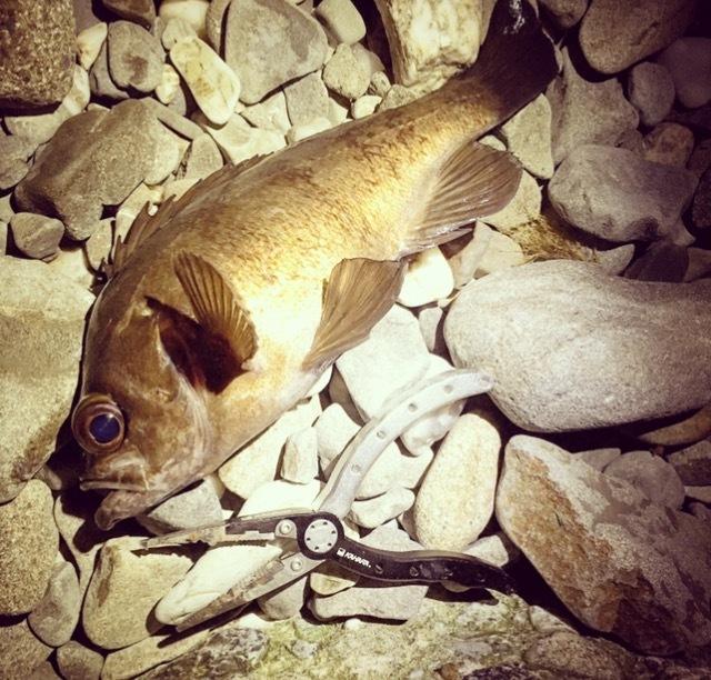 ゴロタ浜からフロートで釣ったメバル27.5cm