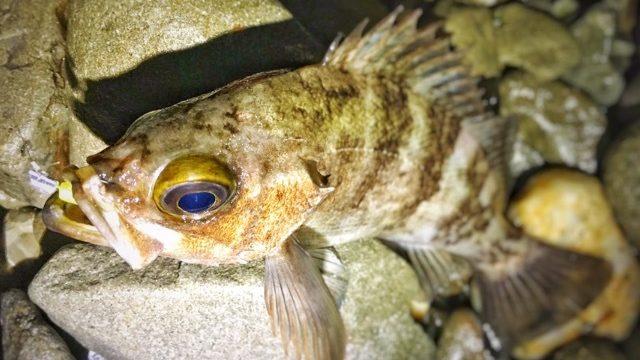 ゴロタのフロートリグ(ガルプミノー2インチ)で釣れた白メバル22cm。2017.4