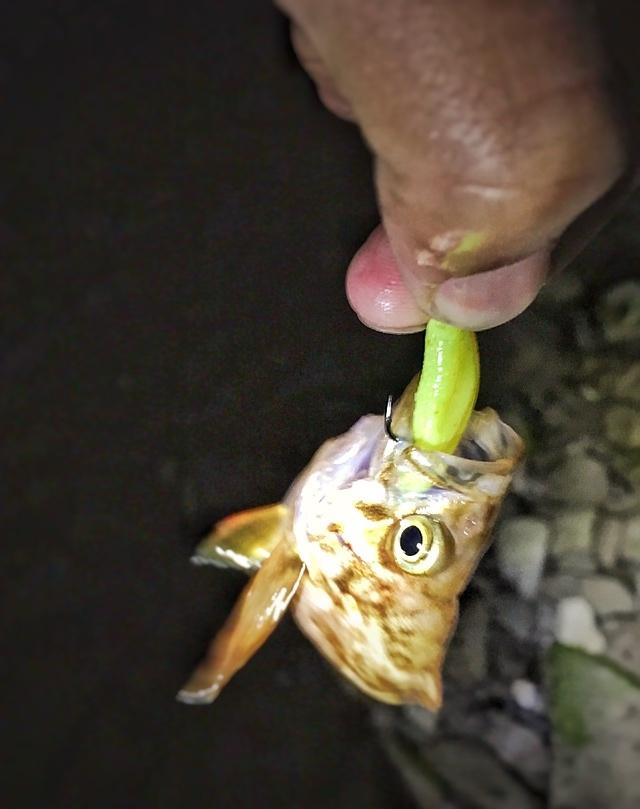 フロートリグで釣ったメバル(スモウヘッド太0.6gとガルプミノー2インチ)2017.5