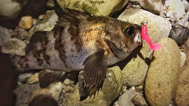 フロートリグで釣ったメバル(スモウヘッド太0.6gとダックフィンビーム)2017.5