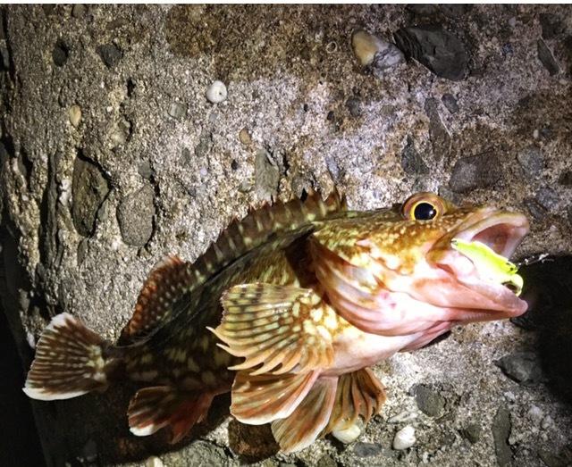 ブリーデンのビーバイブで釣った20cmオーバーのガシラ(2017.05)