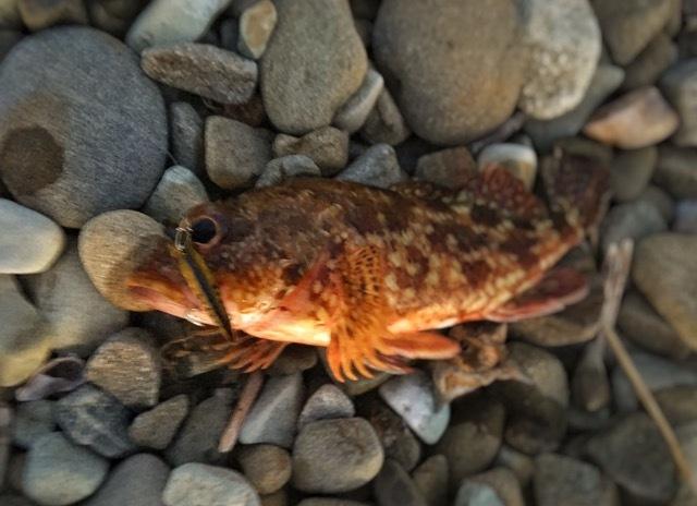 ゴールドワンにヒットし海藻に潜り込んだガシラ(2017.5)