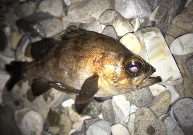 メバル22.5cmがガルプのミノー丸呑み(2017.5)