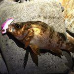 ビーバイブで釣れたメバル18cm(2017.5)
