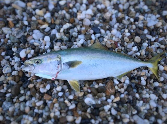 ムーチョルチア35g(夜光)で釣ったハマチ52cm1400g