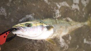ムーチョルチア35g(夜光)で釣ったハマチ52cm1400gとドレスのデリンジャータフ