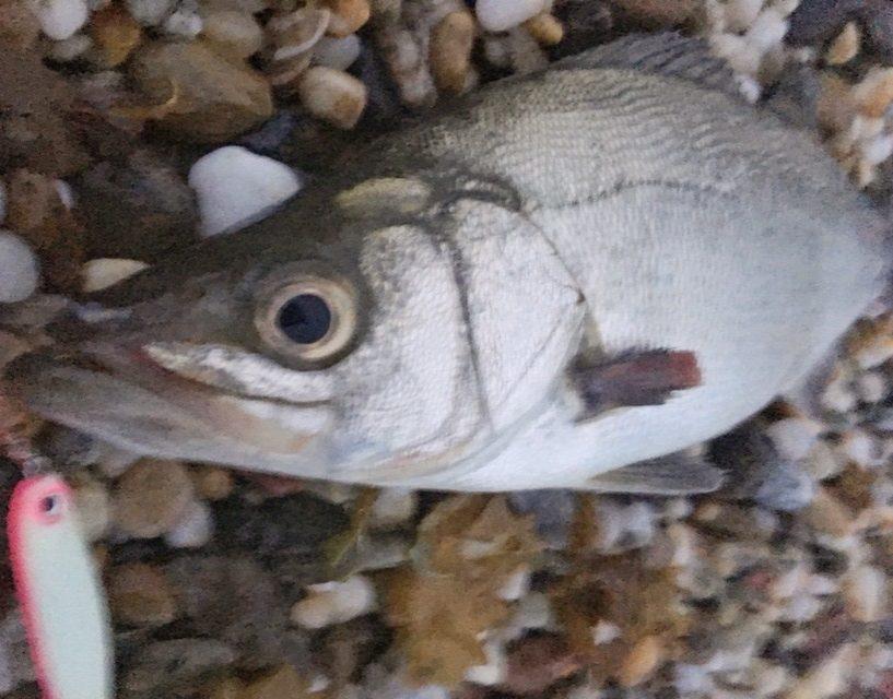 ムーチョルチア35g(ピンクグロー)で釣ったヒラスズキ40cm