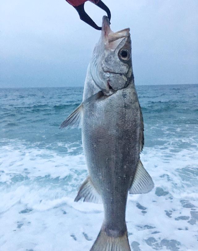 ドレスのデリンジャータフで掴んだムーチョルチア35g(ピンクグロー)で釣ったヒラスズキ40cm