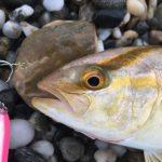 ムーチョルチア夜光35gで釣れたシオ22cm(カンパチ)