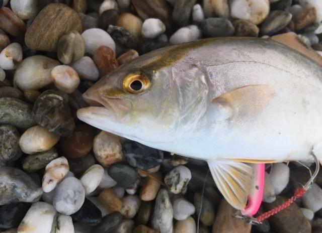 ムーチョルチア夜光35gで釣れたシオ20cm(カンパチ)