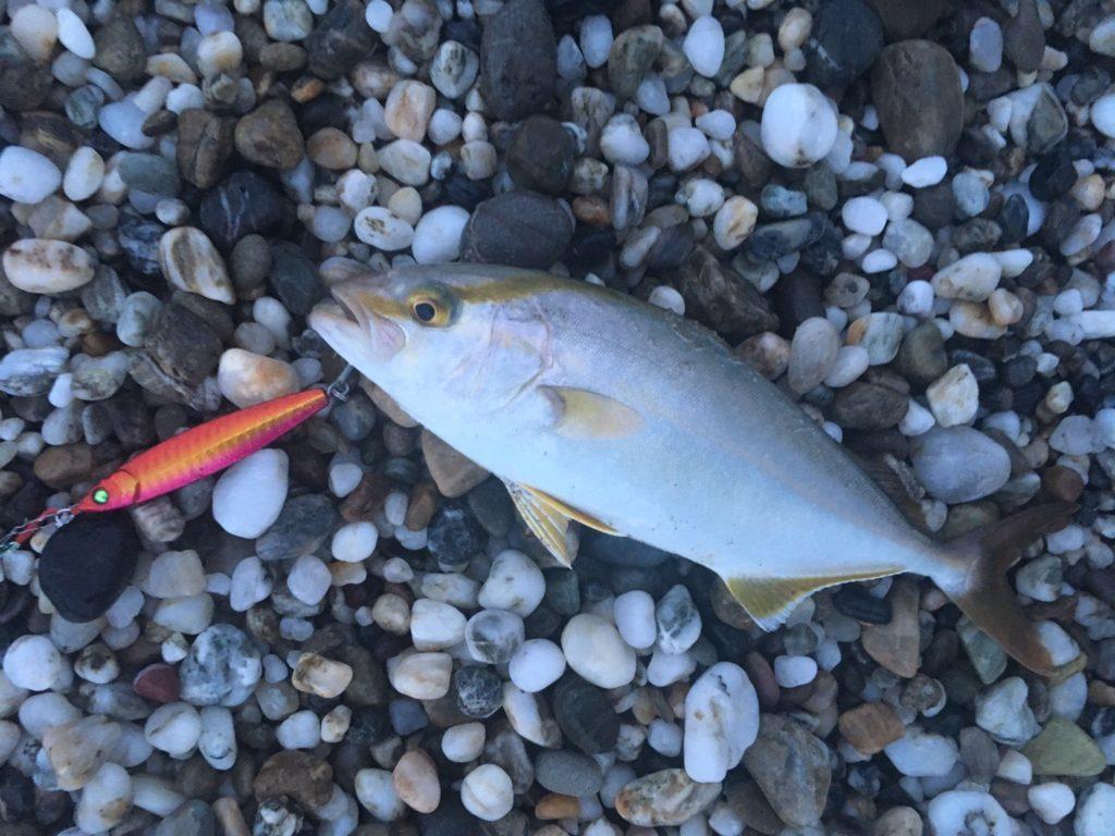 闘魂ジグ30gで釣ったシオ25cm(2017.8)