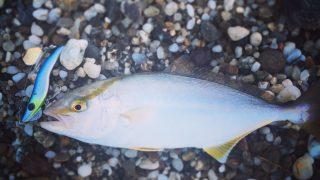メタルマルで釣ったシオ25cm(2017.8)