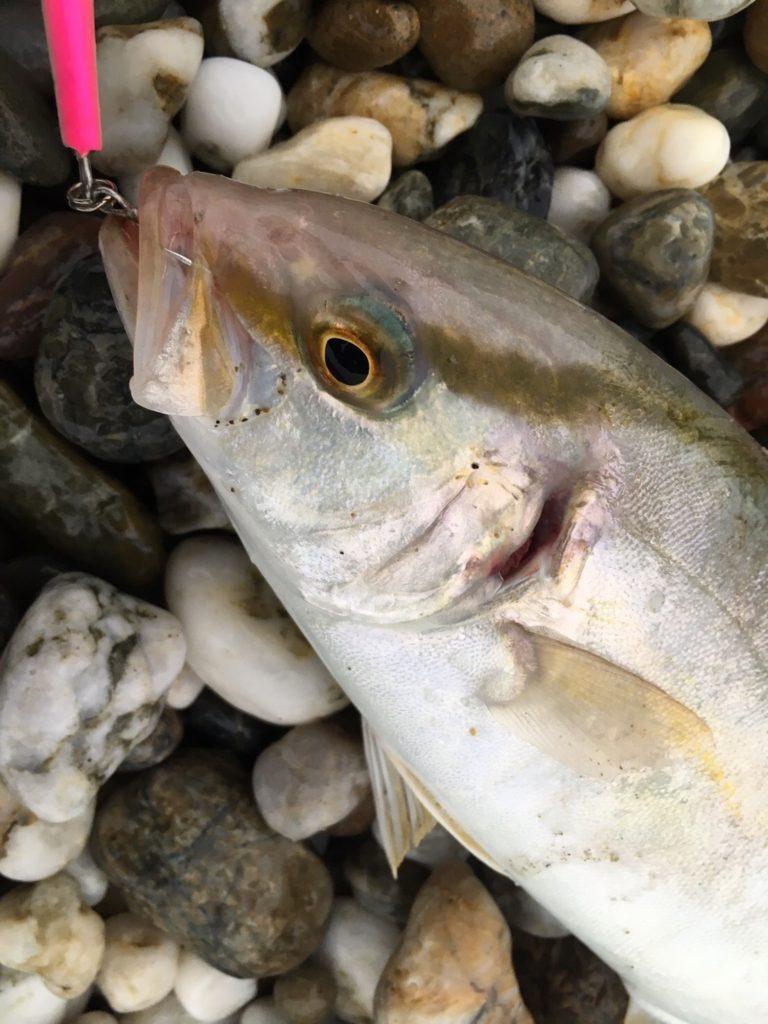 チビナゴ28gで釣ったシオ20cm
