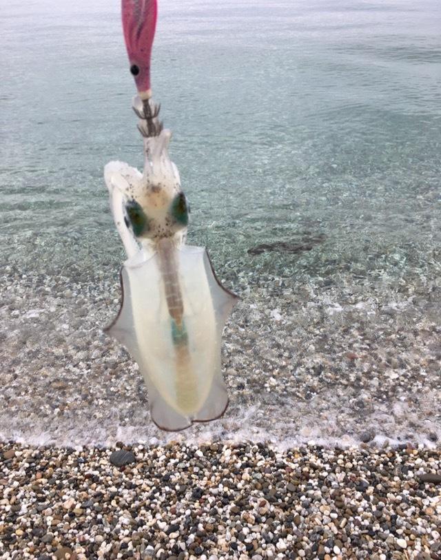 サーフエギングで釣ったアオリイカ16cm200g(2017.9)とエギーノぴょんぴょん