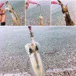 サーフエギングで釣ったアオリイカ4はい(2017.9)
