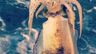 エギングで釣れたサーフアオリイカ(2017.9)