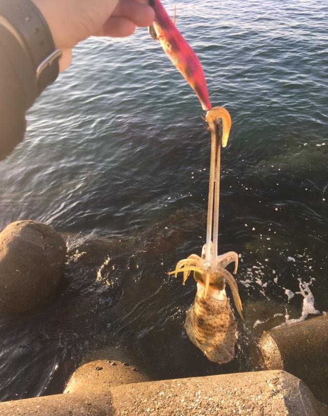 シャローで釣れたアオリイカ12cm(2017.10)