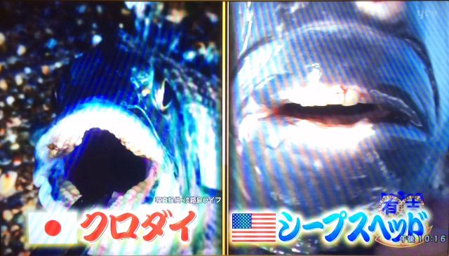 テレビ放映されたチヌ(クロダイ)の歯の写真