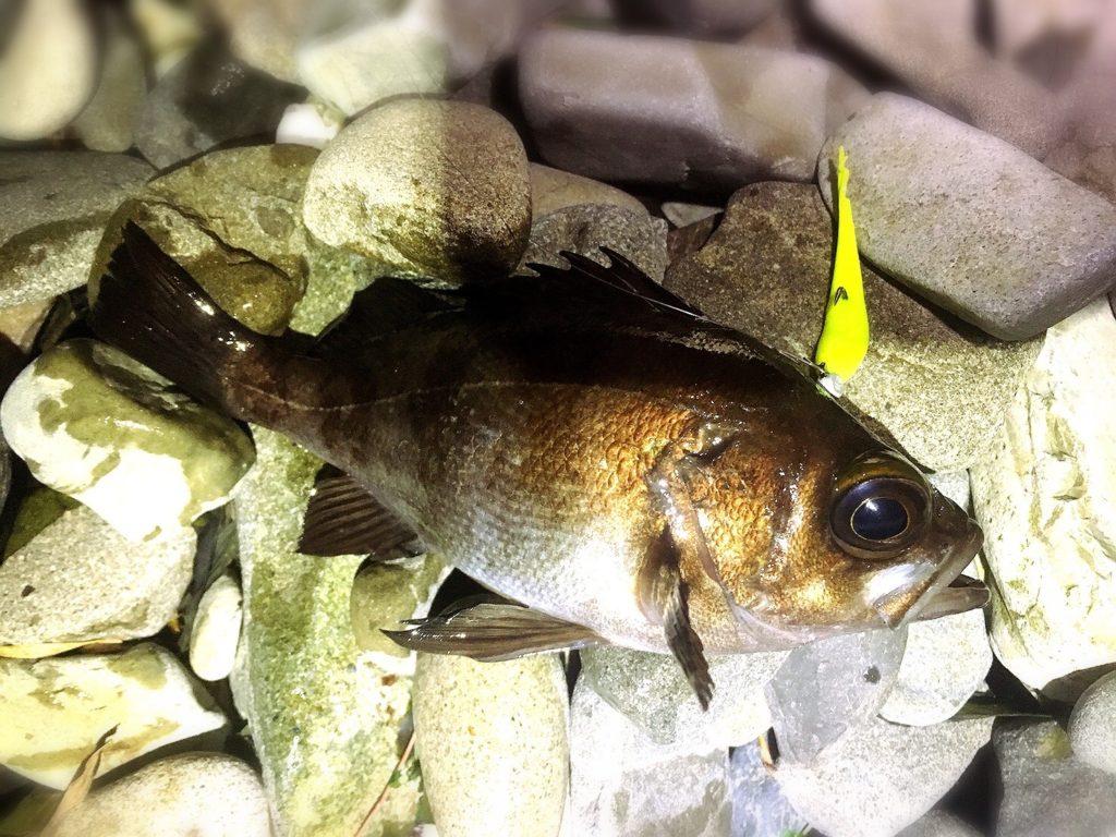 フロート×ガルプで釣った白メバル18cm2018.3)