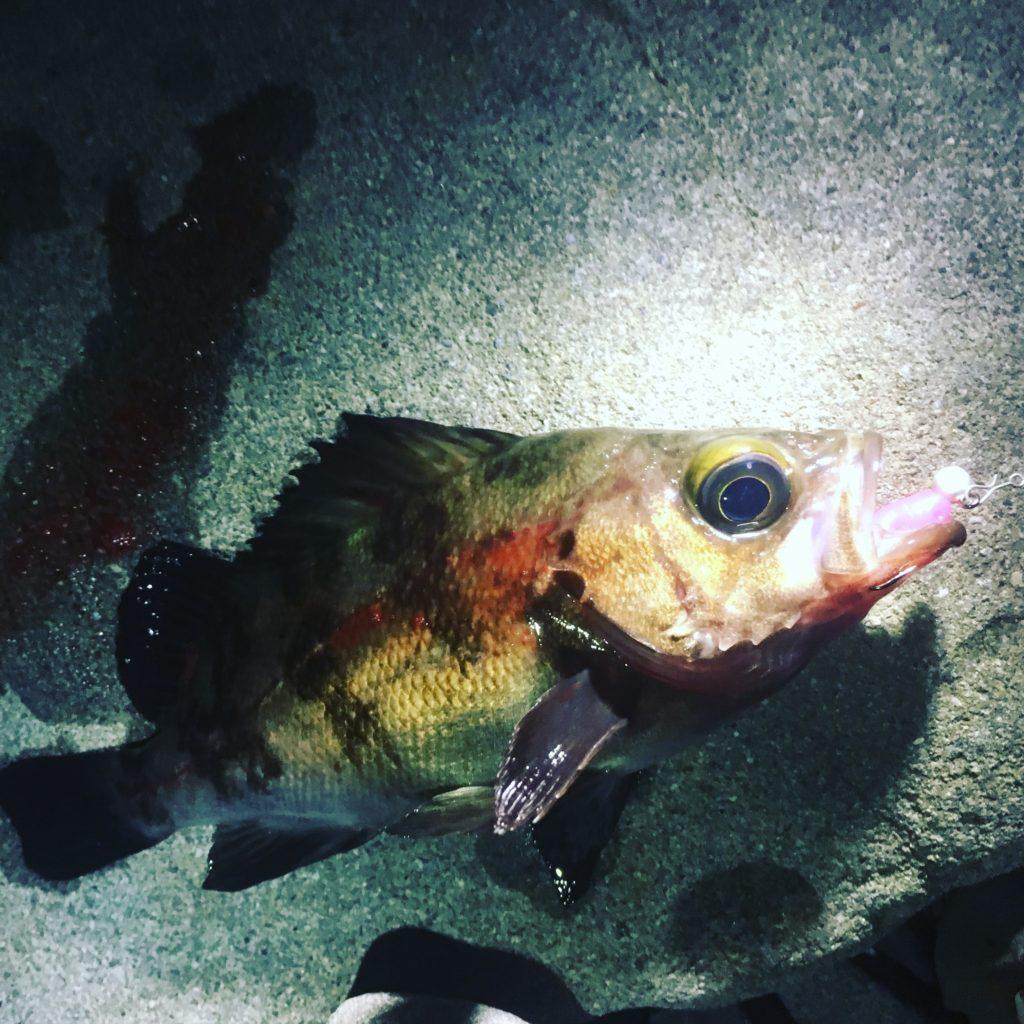 ダックフィンビームとスモウヘッド0.6gで釣った白メバル18cm(2018.4)