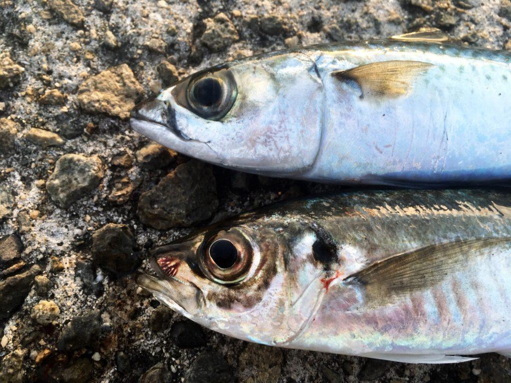 ガルプサンドワームと1gレンジクロスヘッドで釣ったアジ22cmとサバ23cm(2018.4)