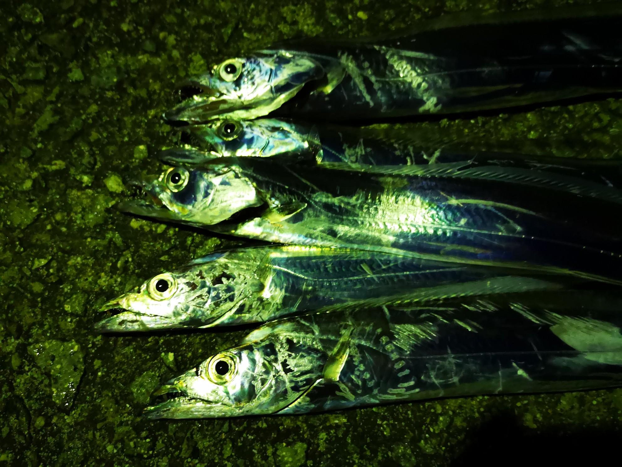 ワインドで釣ったタチウオF3サイズ5本(2018.10)