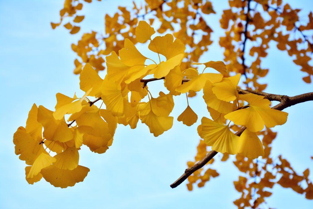 イチョウの葉と秋の空