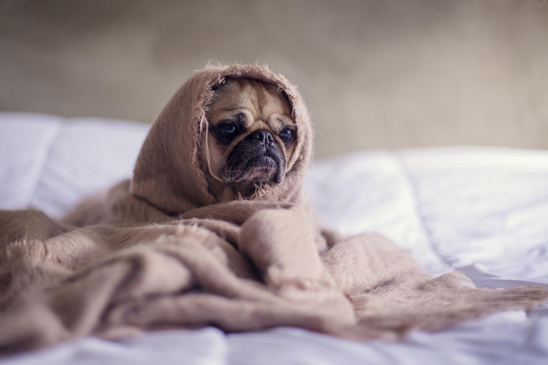ベッドの上で毛布にくるまったパグ犬