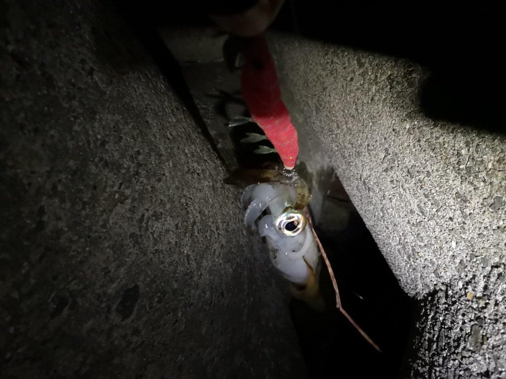 テトラの中に落としたイージーキューキャストランガンマヅメマスターで釣ったアオリイカ333gを引き上げた(2018.11)