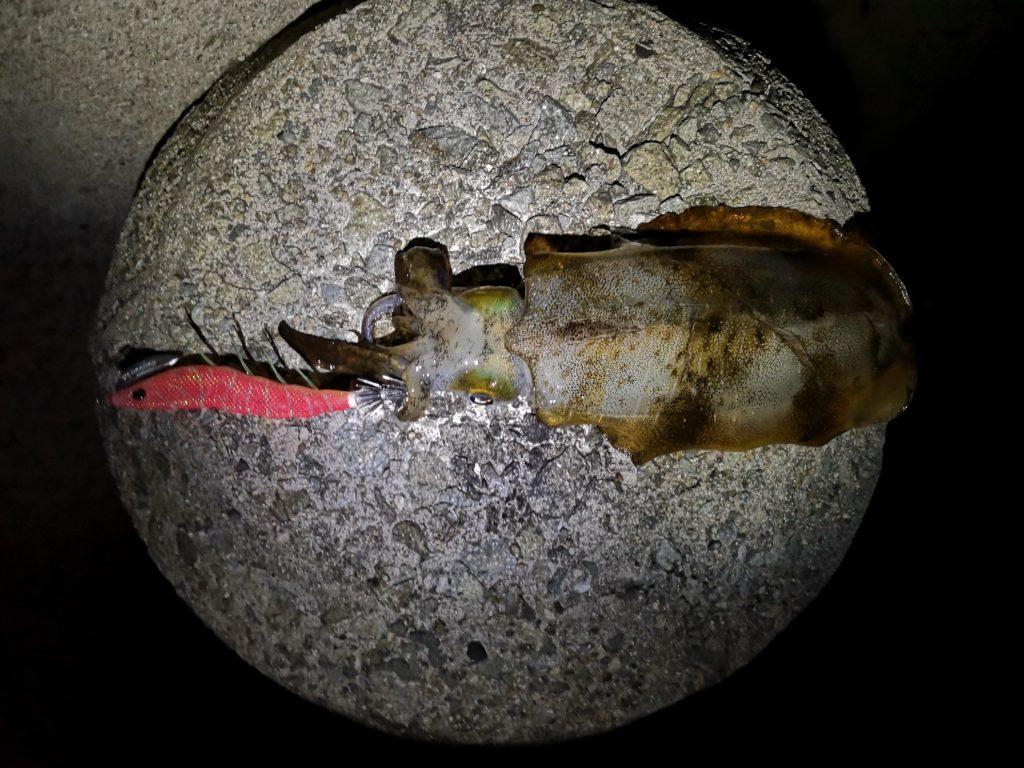 イージーキューキャストランガンマヅメマスターで釣ったアオリイカ207g(2018.11)