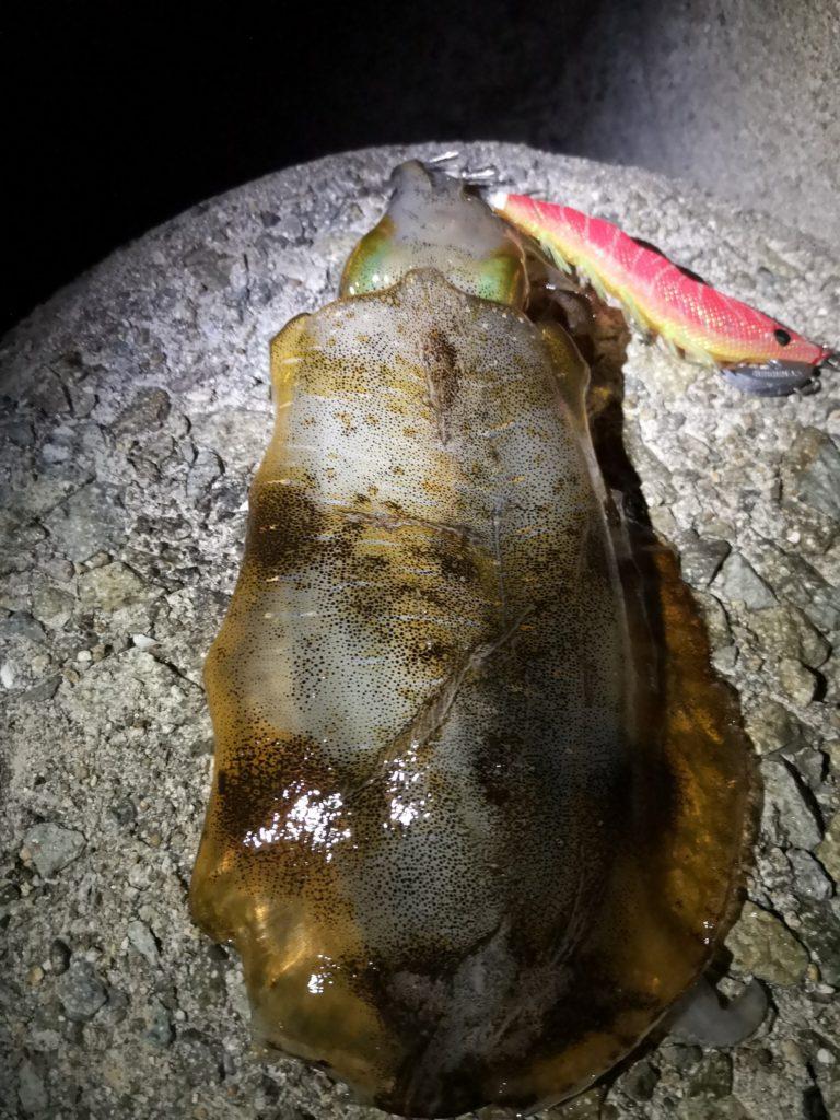 イージーキューキャストランガンマヅメマスターで釣ったアオリイカ333g(2018.11)