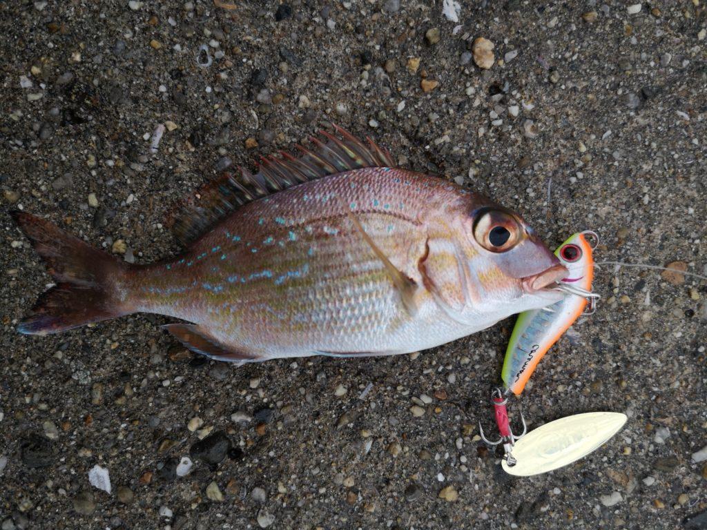 コアマンのPB(パワーブレード)13で釣ったチャリコ