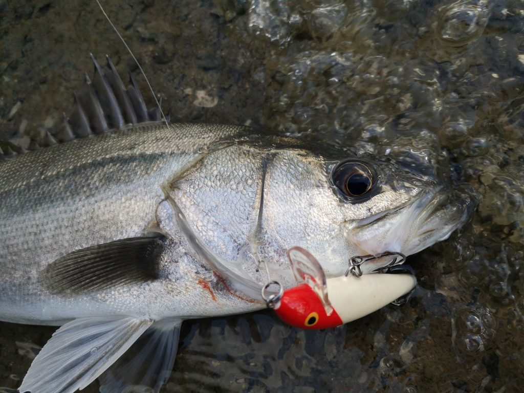 ラパラCD9で釣った47cmのシーバス(2018.12ラスト)