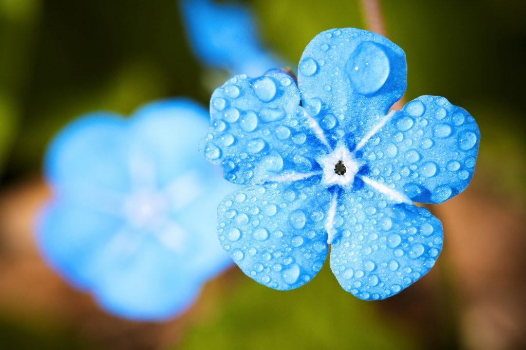 雨露の水滴と青い花