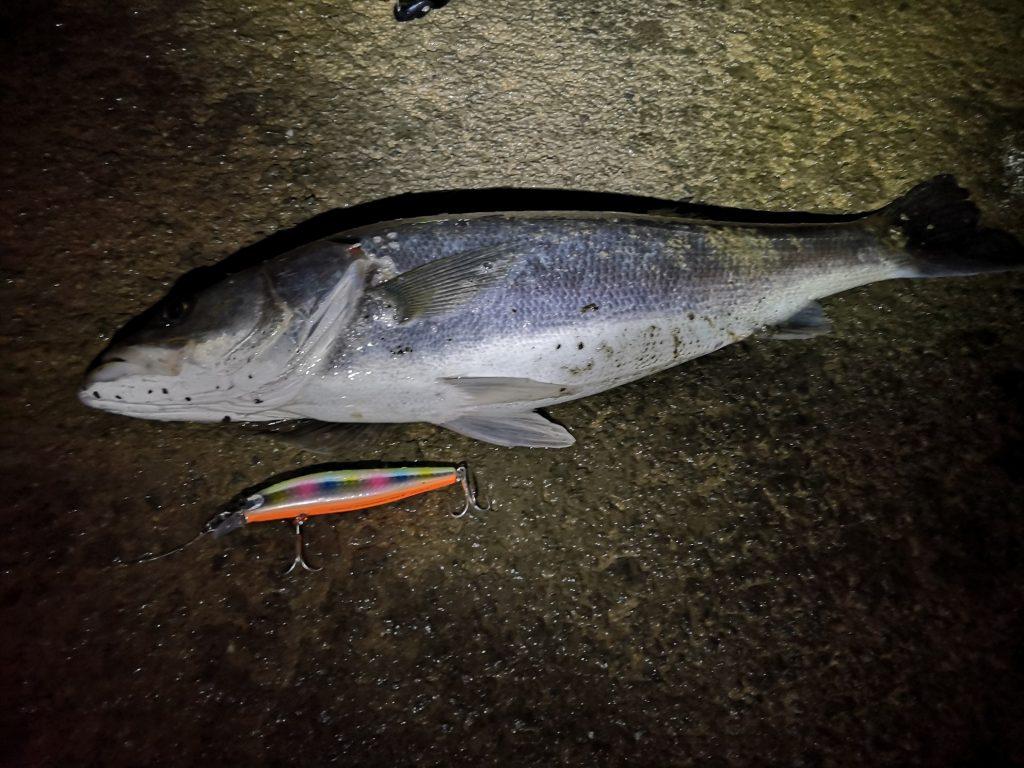 2019年初釣りのファーストキャストでサイレントアサシン99Fで釣ったシーバスとナスキーC3000とアーリープラス710XF(2019.1)