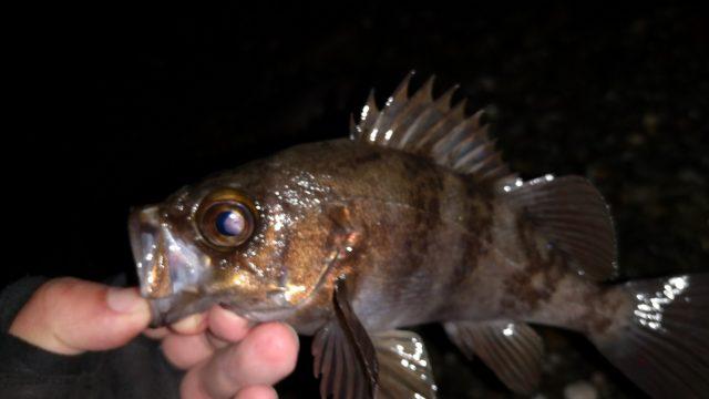 ダックフィンビームで釣ったメバル21cm(2019.4)