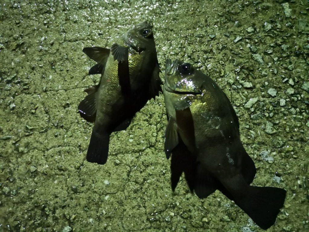 フロートリグで釣ったメバル18cmと21cm(2019.4)