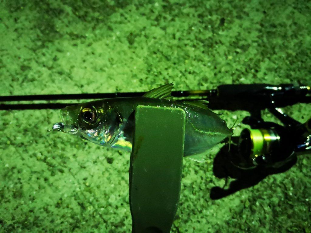 トゥイッチで釣ったアジ15cm(2019.4)