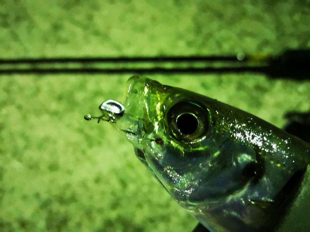 アミアミ1.5インチのトゥイッチで釣ったアジ15cm(2019.4)